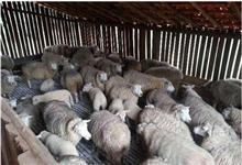 Ovelhas de diversas raças
