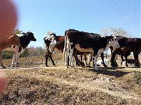Lote 18 vacas eradas e 1 touro giro