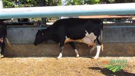Venda de 9 Vacas Grolando e Holandeza Amojando