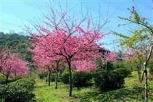 Cerejeira de Flor