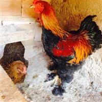 Ovos galados ( fertéis ) de galinhas ornamentais