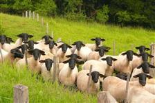 Ovinos Suffolk PO - Matrizes, Reprodutores e Cordeiros