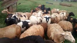 Ovelhas, Borregas e Reprodutores
