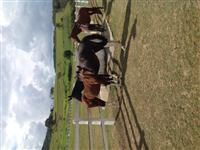 Troco Cavalos M.Marchador por Trator Valtra/Valmet