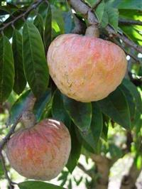 mudas de frutiferas