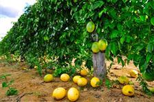 Maracujá  Fruto para poupa
