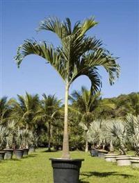 Palmeira Veitchia ADULTA