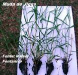 Mudas de grama em bandejas de jiggs
