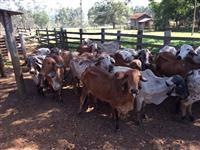 Vacas e Novilhas Gir PO