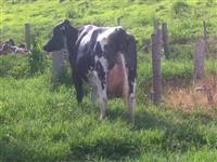 Vacas, Novilhas e Bezerras Leiteiras