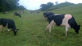 Novilhas e Vacas em lactação Holandesas