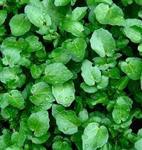 Sementes Agroecológicas de Hortaliças