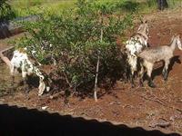 Compro cabras e carneiros