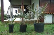 Palmeiras Bismark ou Palmeira Azul