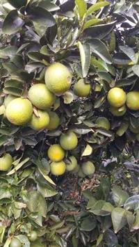 Limão Tahiti --laranja pera--mangas- abóbora cabotiá