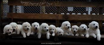Lindissimos filhotes da Raça Kuvasz - Um cão perfeito para Guarda Cia e trabalho
