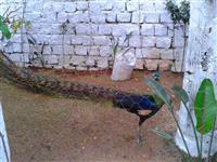 pavão verde de java