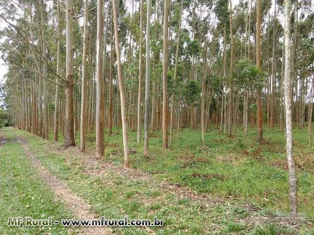 Vendo Plantação de Eucalipto 4mil pes - 10anos