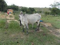 Quatro vacas paridas e uma prenha