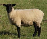 Ovelhas Suffolk