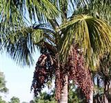 Vendo Óleo Vegetal de Buriti produzido no Estado do Acre