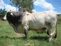 Vendo touros, vacas, novilhas, bezerros BRAHMAN PO