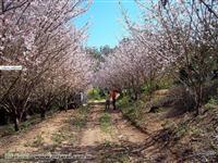 Muda de flor de cerejeira