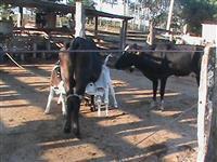 Vacas Guzolandas leiteiras e vacas Guzerá