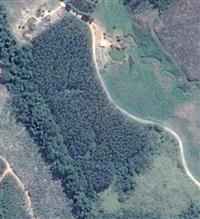 Plantação de 10mil Eucaliptos para corte