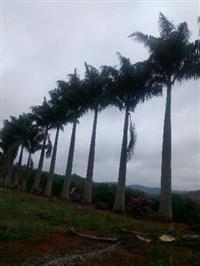 Palmeiras imperial