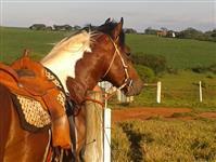 Seu cavalo Paint Horse esta aqui!