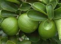 Limao Tahiti somos produtores fornecemos o ano todo anti safra