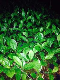 mudas de erva mate nativa em santa catarina  canoinhas - capital da erva mate