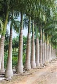 Vendo palmeiras formadas e frutas produzindo
