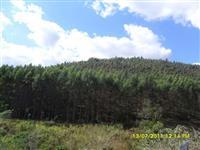 Madeira in natura de eucalipto, escoramentos e peças para construção de telhados