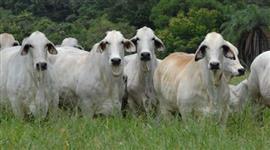 Bezerros, Tourinhos, Vacas e Touros Brahman PO de excelente qualidade e seleção
