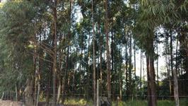 Eucalipto madeira em pé 5 anos  5ha em Itu