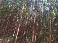 Floresta de Eucalipto Urophyla - clone