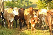 Vacas bezerras e novilhas