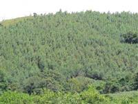 Área Rural com 50000 pés de eucalípto