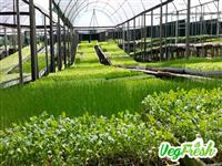 Vegetais Hidropônicos VegFresh