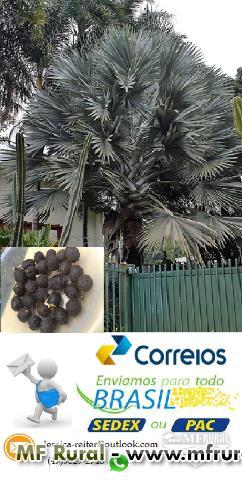 Semente de Palmeira Azul