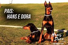 Filhotes de Doberman - Alfenas (Sul de Minas)