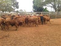 Lotes a venda gado de primeira Brafor Angus Red Angus, Brangus.