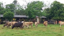 Venda de vacas Jersey e Jersolando