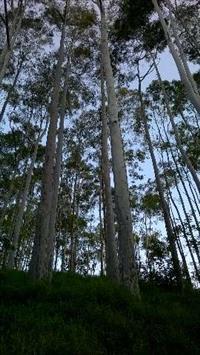 Vendo 300 eucaliptos de 30 anos