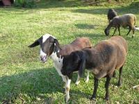 Vende-se 46 ovelhas por R$ 8,00/kg peso vivo