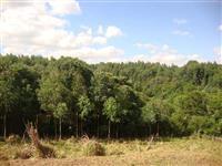 Vendo eucaliptos na regiao de Campo Largo - idade 7 anos