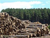 Vendo toras de Pinus Eliot