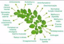 Moringa oleífera orgânica